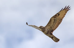 Steppe Buzzard. Flying over a wetland in Cape Town, South Africa Stock Images