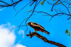 Steppe Buzzard perched on a tree branch in Kruger National Park Royalty Free Stock Images