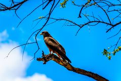 Steppe Buzzard perched on a tree branch in Kruger National Park Stock Photography