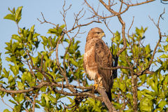 Steppe Buzzard Stock Images