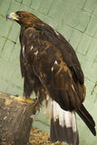 Steppe Eagle. Is sitting on a stump in a zoo Royalty Free Stock Photography