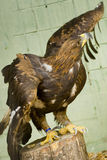 Steppe Eagle. Is sitting on a stump in a zoo Royalty Free Stock Photo