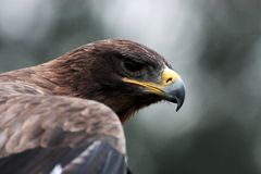 Steppe-eagle Stock Photography