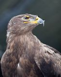 Steppe eagle - Stock Photography
