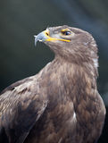 Steppe eagle - Stock Image