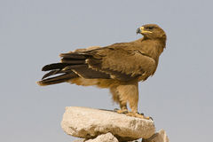 Steppe eagle. Standing on a stone Royalty Free Stock Images