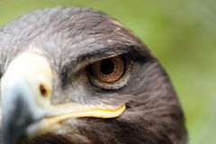 Steppe Eagle Stock Photos