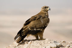 Steppe eagle Royalty Free Stock Photography