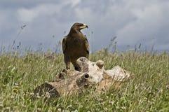 Steppe Eagle photographie stock libre de droits