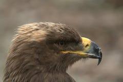 Steppe Eagle Image libre de droits