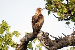 Steppe Eagle Royalty-vrije Stock Foto