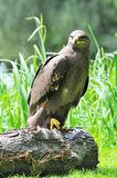 Steppe eagle Stock Photography