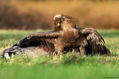 Steppe Eagle(Aquila nipalensis) Stock Images