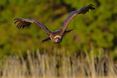 Steppe Eagle, Aquila nipalensis, bird moving action scene, flying dark brawn bird of prey with large wingspan, Sweden Royalty Free Stock Images