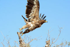 The steppe eagle Aquila nipalensis stock images