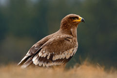 Steppe Eagle, Aquila nipalensis, bird of prey sitting in the grass on meadow, forest in background, animal in the nature habitat, Stock Photo