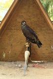 Steppe eagle Stock Photos