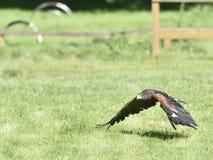 Steppe Eagle. Royalty Free Stock Photos