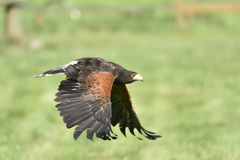 Steppe Eagle. Royalty Free Stock Image