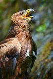 The Steppe Eagle (Aquila nipalensis) - portrait. Royalty Free Stock Photos