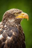 The Steppe Eagle (Aquila nipalensis) - portrait. Stock Image