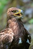 The Steppe Eagle (Aquila nipalensis) - portrait. Stock Images