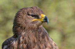 Steppe Eagle, Aquila nipalensis stock photo
