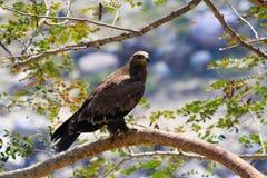 Steppe eagle, Aquila nipalensis. Saswad, Maharashtra, India stock images