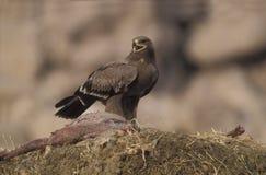 Steppe eagle, Aquila nipalensis, Stock Image