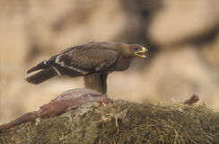 Steppe eagle, Aquila nipalensis, Royalty Free Stock Image