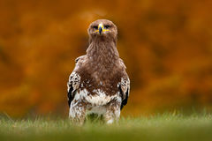 Steppe Eagle, Aquila nipalensis, sitting in the grass on meadow, orange autumn forest in background, Russia. Wildlife scene from n Stock Photos