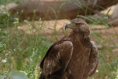 Steppe Eagle Aquila nipalensis standing on the ground showing off its sharp beak and yellow eyes in the Al Ain Zoo, UAE royalty free stock image