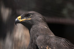 Steppe eagle (Aquila nipalensis). Royalty Free Stock Image