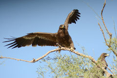 Steppe eagle BIKANER. The Steppe Eagle Aquila nipalensis is a bird of prey . This is a large eagle with brown upperparts and blackish flight feathers and tail Royalty Free Stock Photos