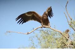 Steppe eagle BIKANER INDIA Royalty Free Stock Photography