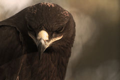 The Steppe Eagle stock photos
