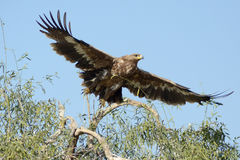 The Steppe Eagle is a bird of prey Taking off. The Steppe Eagle Aquila nipalensis is a bird of prey . This is a large eagle with brown upperparts and blackish Stock Images