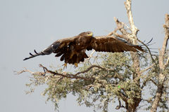The Steppe Eagle is a bird of prey Taking off bikaner. The Steppe Eagle Aquila nipalensis is a bird of prey . This is a large eagle with brown upperparts and Royalty Free Stock Photos