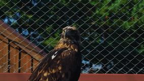 Steppe eagle bird quietly sits in the enclosure of the zoo. The eagle ate and so he quietly sits and looks around stock video