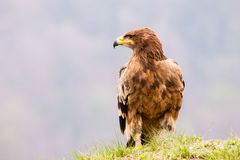 Steppe Eagle Bird Royalty Free Stock Images