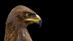 The steppe eagle on the black background stock photography