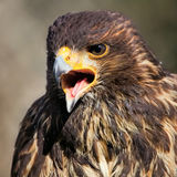 Steppe Eagle. Close-up of a creaming Steppe Eagle Stock Photos