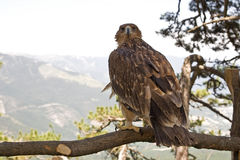 The steppe eagle. Endangered species. Listed in the Red book of Russia Royalty Free Stock Photography