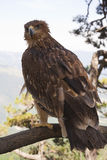 The steppe eagle. Stock Photography