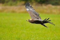 Steppe Eagle flying above the ground Royalty Free Stock Photos