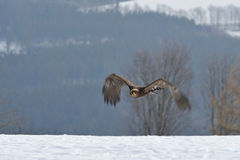 Steppe Eagle flying above the ground Stock Photos