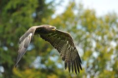 Steppe Eagle flying before trees Royalty Free Stock Photo
