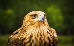 Steppe Eagle  on green background close-up Stock Photo