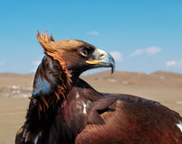 Steppe Eagle head. Close-up royalty free stock images