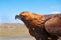Steppe Eagle head. Close-up royalty free stock photography